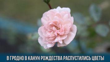В Гродно в канун Рождества распустились цветы