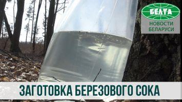Как заготавливают березовый сок в Копыльском районе