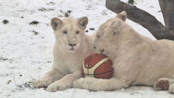 Белые львы в Минском зоопарке