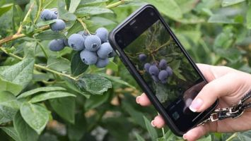 Голубика, жимолость, актинидия, княженика: в Беларуси выращивают целые плантации ароматных ягод