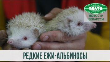 Редкие ежи-альбиносы появились в Витебском зоопарке