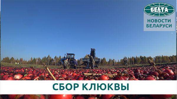 Более 100 т ягод за сезон – как собирают урожай клюквы на плантации Полесья