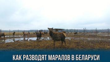 Алтайских маралов разводят в Беларуси