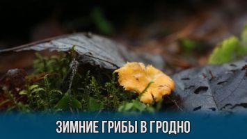 Зимой под Гродно выросли лисички