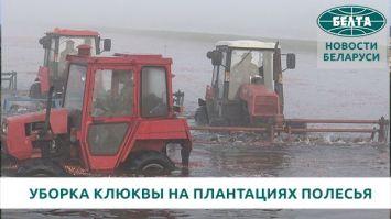 Уборка клюквы на плантациях Полесья