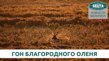 """Гон благородного оленя в Национальном парке """"Беловежская пуща"""""""