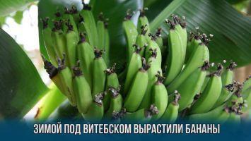 В январе в Витебской области вырастили цитрусовые и бананы