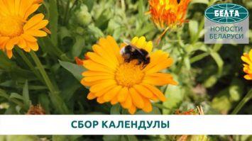 Каждый цветок вручную - как собирают календулу в Беларуси. Показываем за минуту!