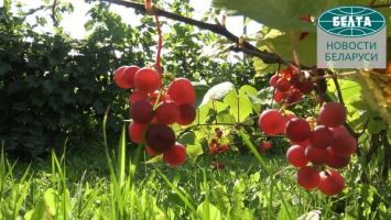 Сбор урожая в садах Института плодоводства НАН Беларуси