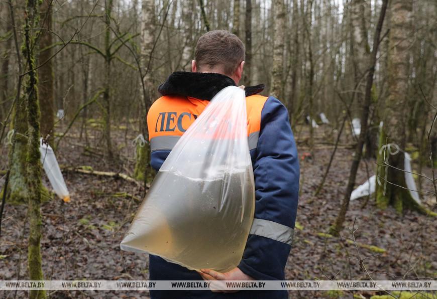 Лесник Бердовского лесничества Евгений Чацковский с березовым соком