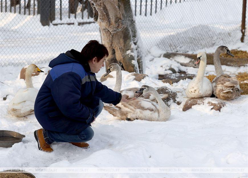Директор зоопарка Ирина Орлова кормит лебедей